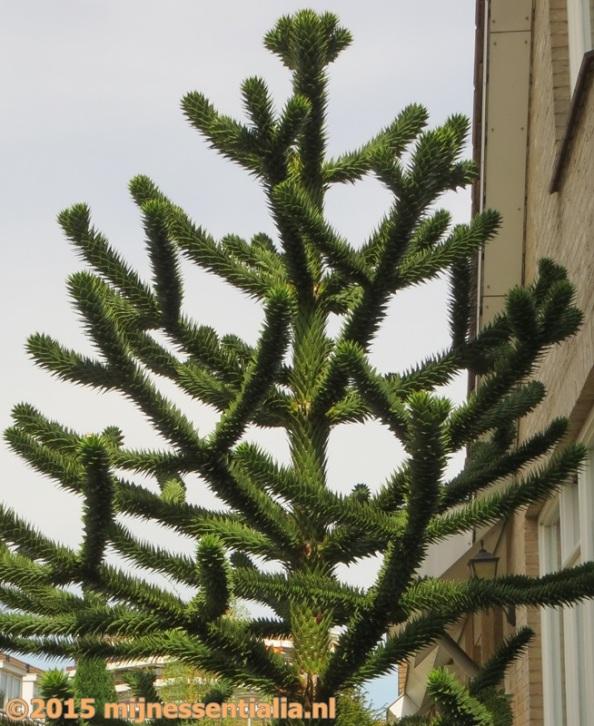 Slangenden of apenboom
