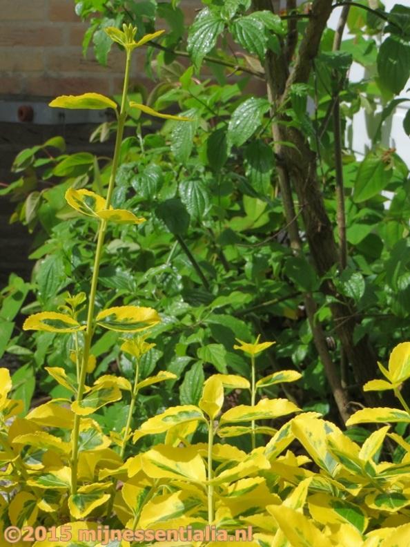 Euonymus Emerald Gold